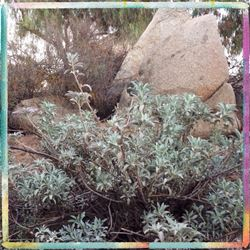 White Sage that grows above the Creek at Natural Sage® in Gavilan Hills