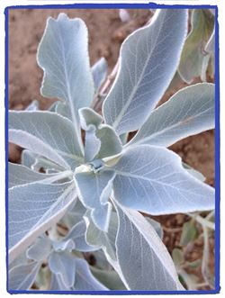 A New Planting of White Sage-Grown without Chemicals, Organically